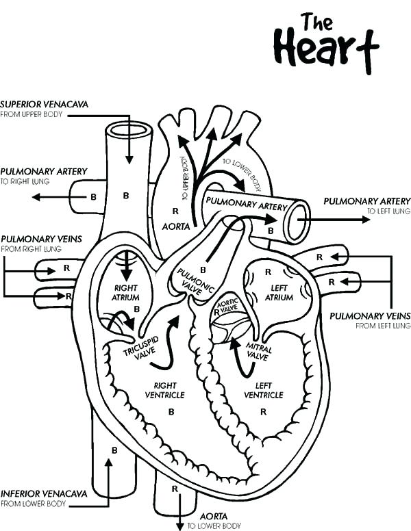 600x776 Human Skeleton Coloring Page Of Human Heart Coloring Pages Bulk