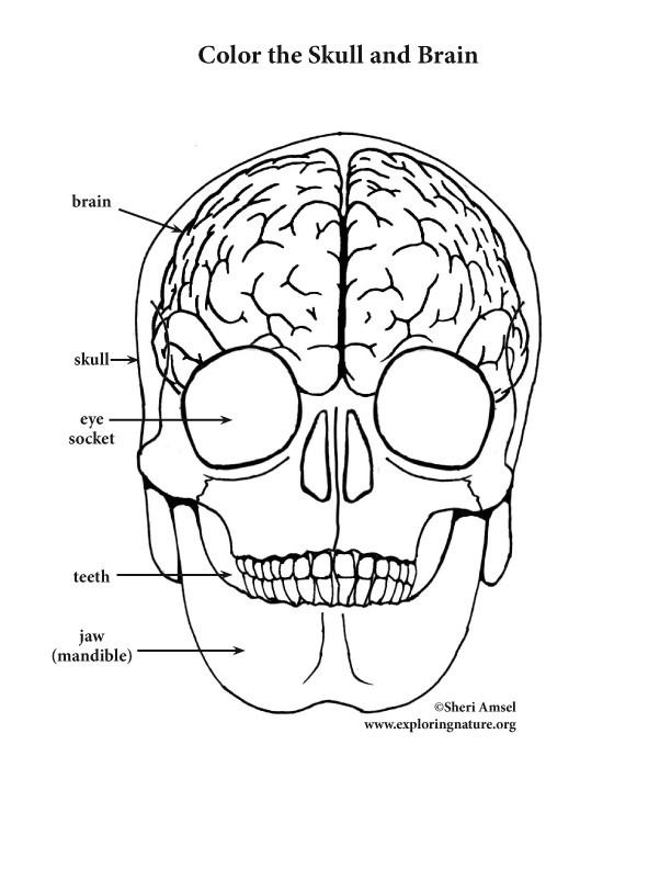 612x792 Brain And Skull Coloring Page