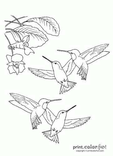 363x500 Hummingbirds Coloring Page