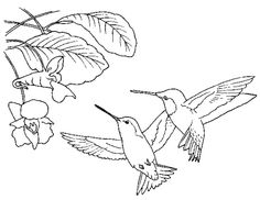 236x182 Coloring Pages Hummingbirds Hummingbird Coloring, Flower