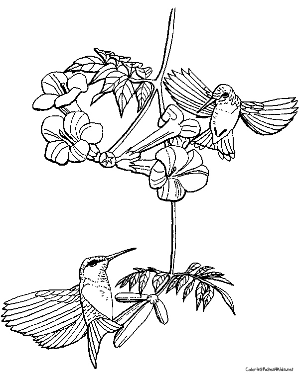 600x756 Hummingbird Coloring Page Free Download
