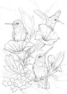 236x331 Adults Color Pages Free Printable Hummingbirds Magnificent