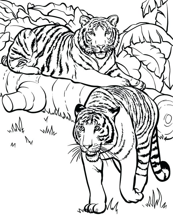 600x763 Coloring Pages Tiger Tiger Two Tigers Ready For Hunting Coloring
