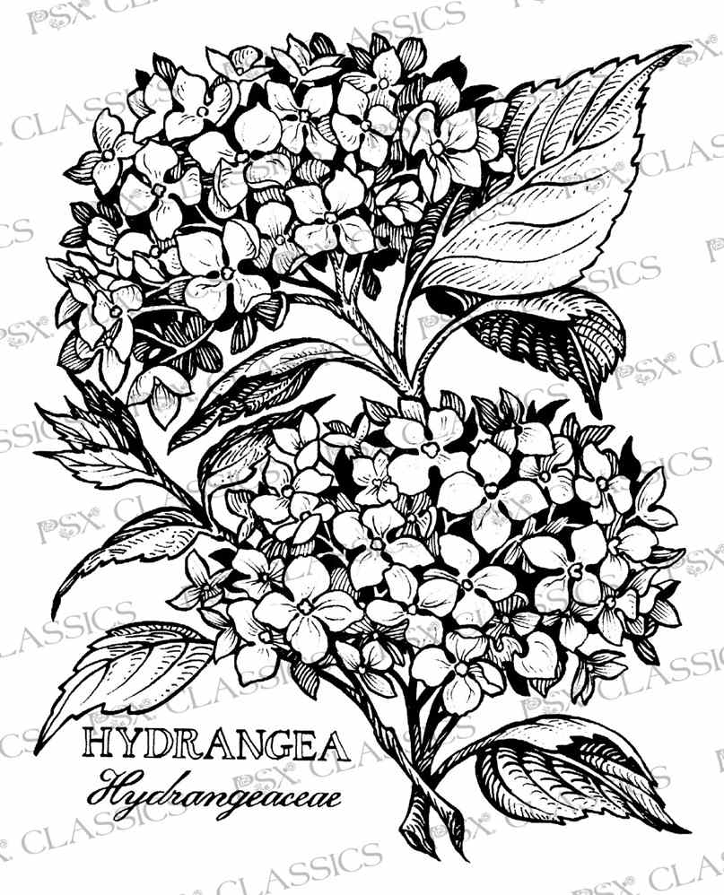 807x998 Hydrangea Coloring Pages Gallery Coloring For Kids