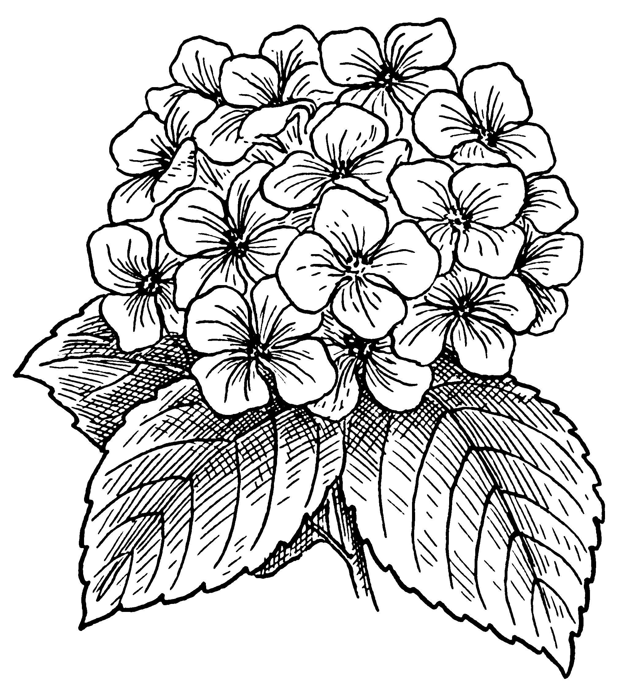 2047x2255 Hydrangea Flowers Drawing Things I Like Hydrangea