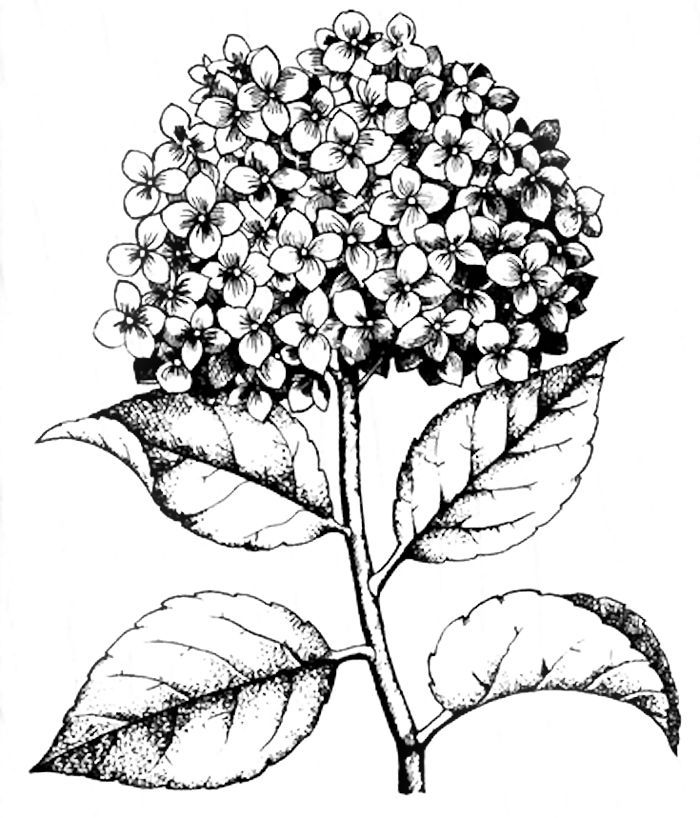 700x818 Hydrangea Stamp Coloring Page Adult Coloring Pages