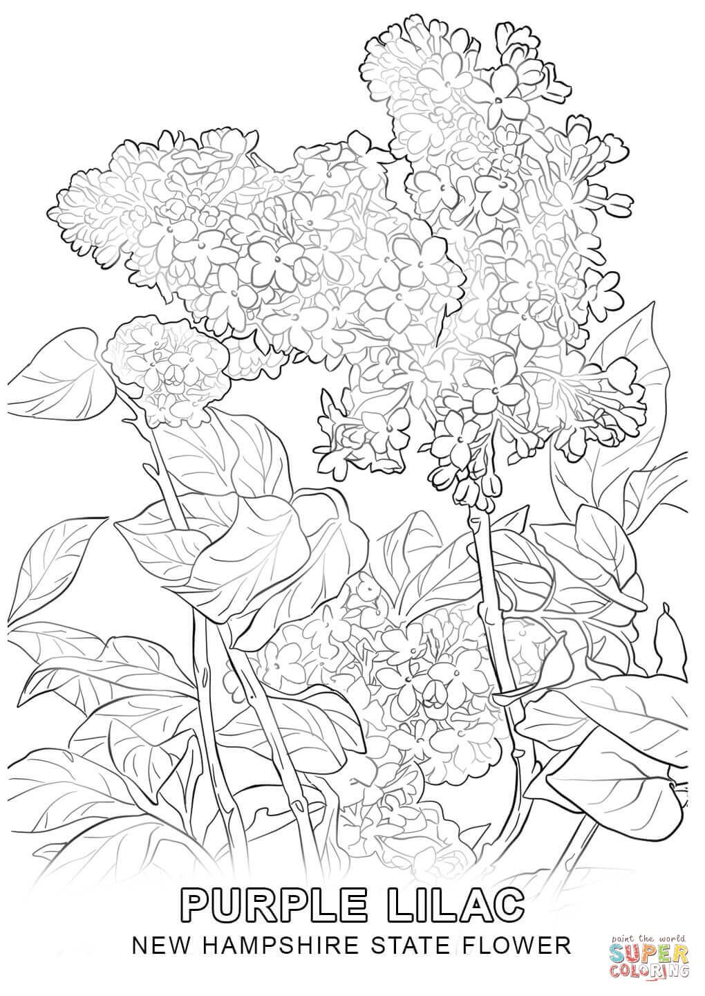 1020x1440 New Hampshire State Flower Coloring Page