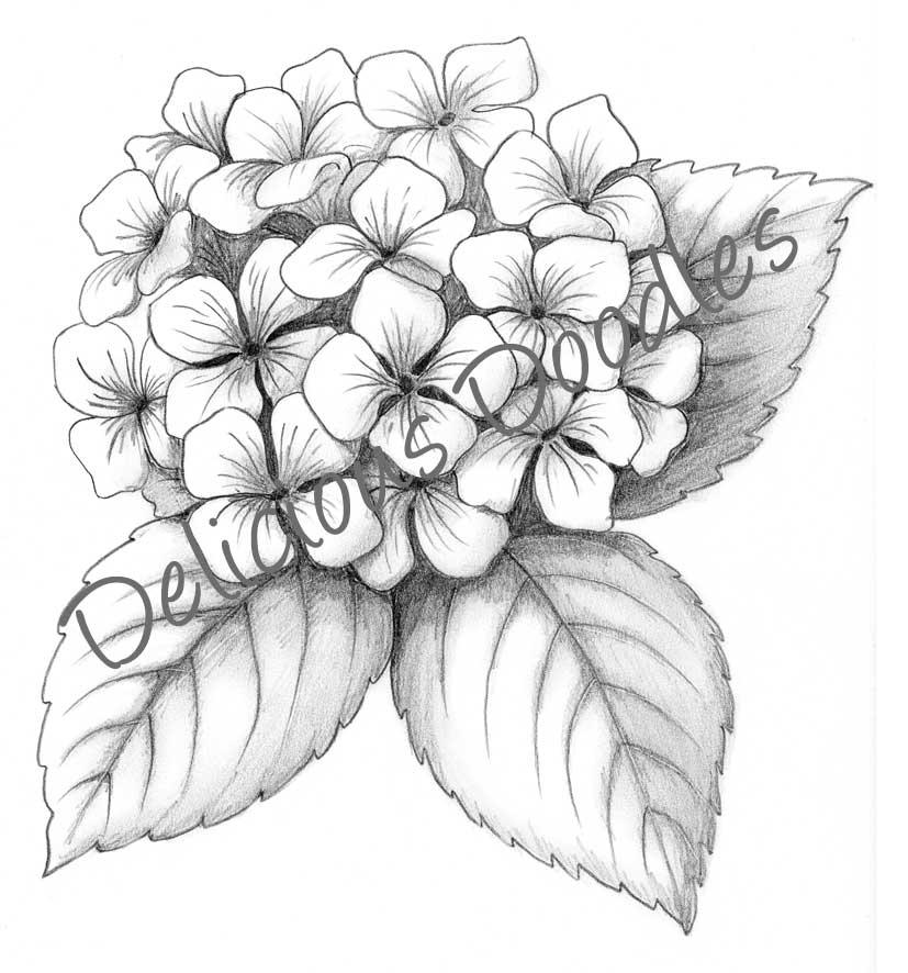 827x886 Drawn Flower Hydrangea