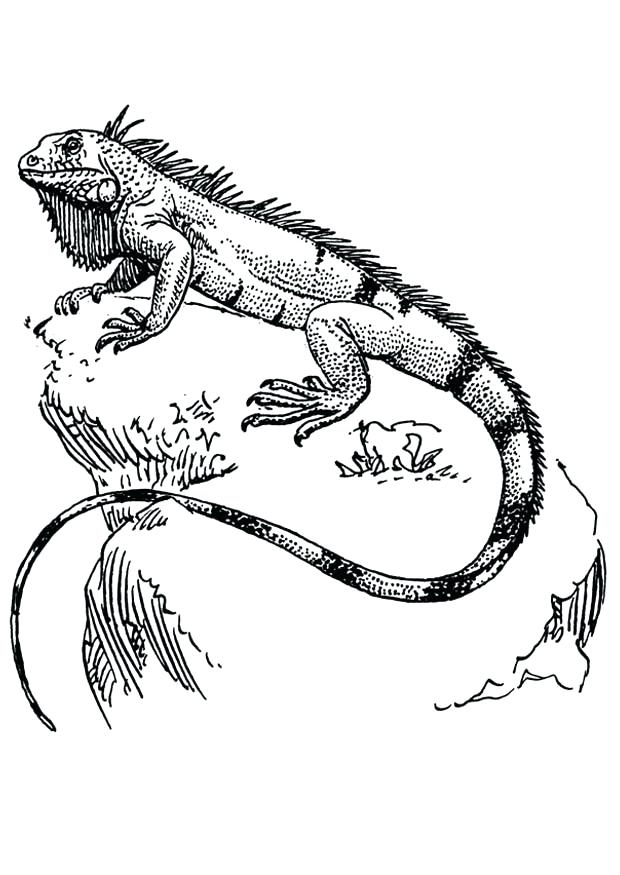 620x875 Coloring Page Iguana Coloring Page Iguana Green Iguana Coloring