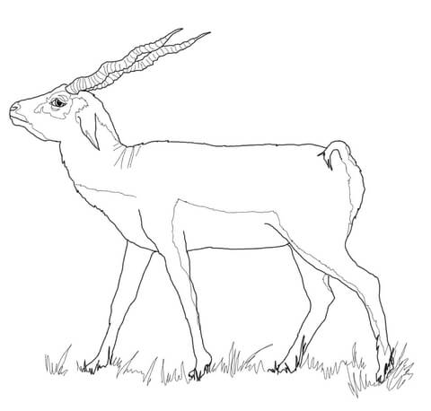 480x458 First Class Chamois Animal Coloring Pages Black Buck Animal