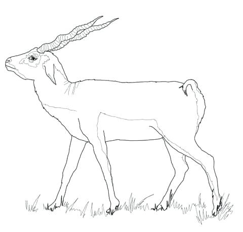 480x458 Impala Animal Coloring Pages Black Buck Animal Coloring Page Color