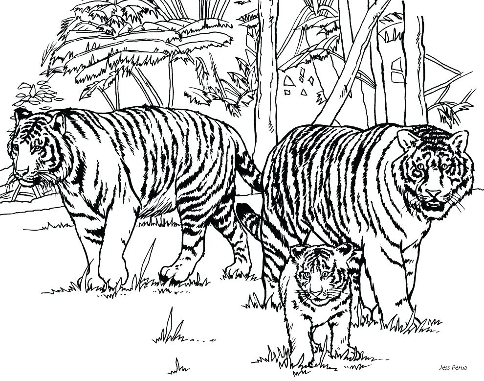 990x778 Tiger Color Page Saber Tooth Tiger Coloring Pages Tiger Pictures