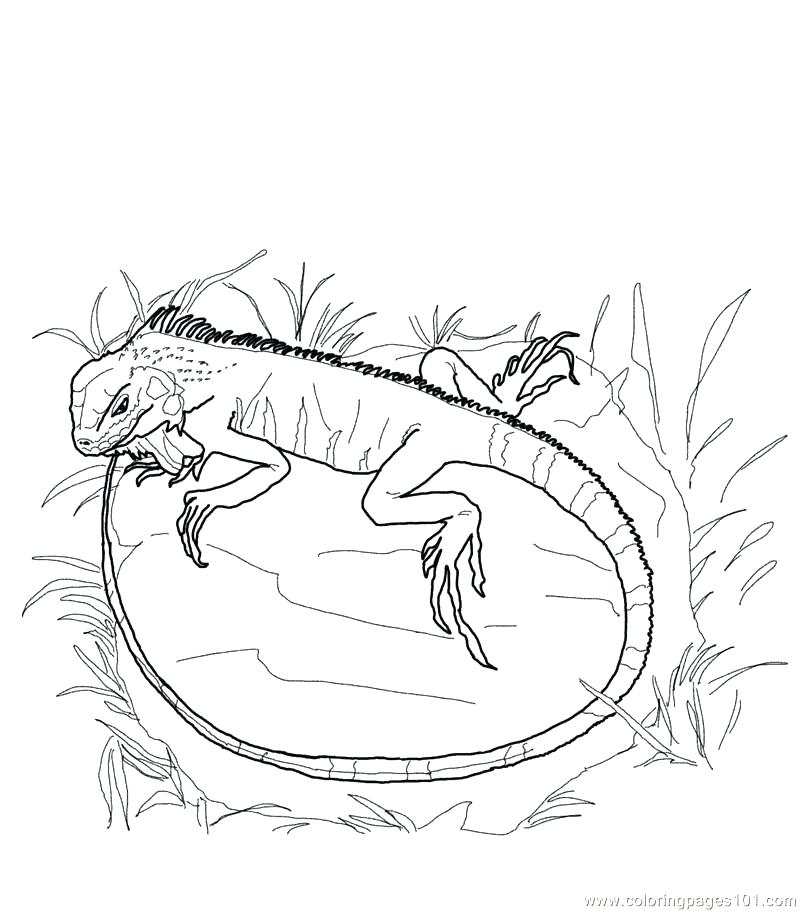 800x911 Iguana Coloring Pages Printable Iguana Coloring Page Free