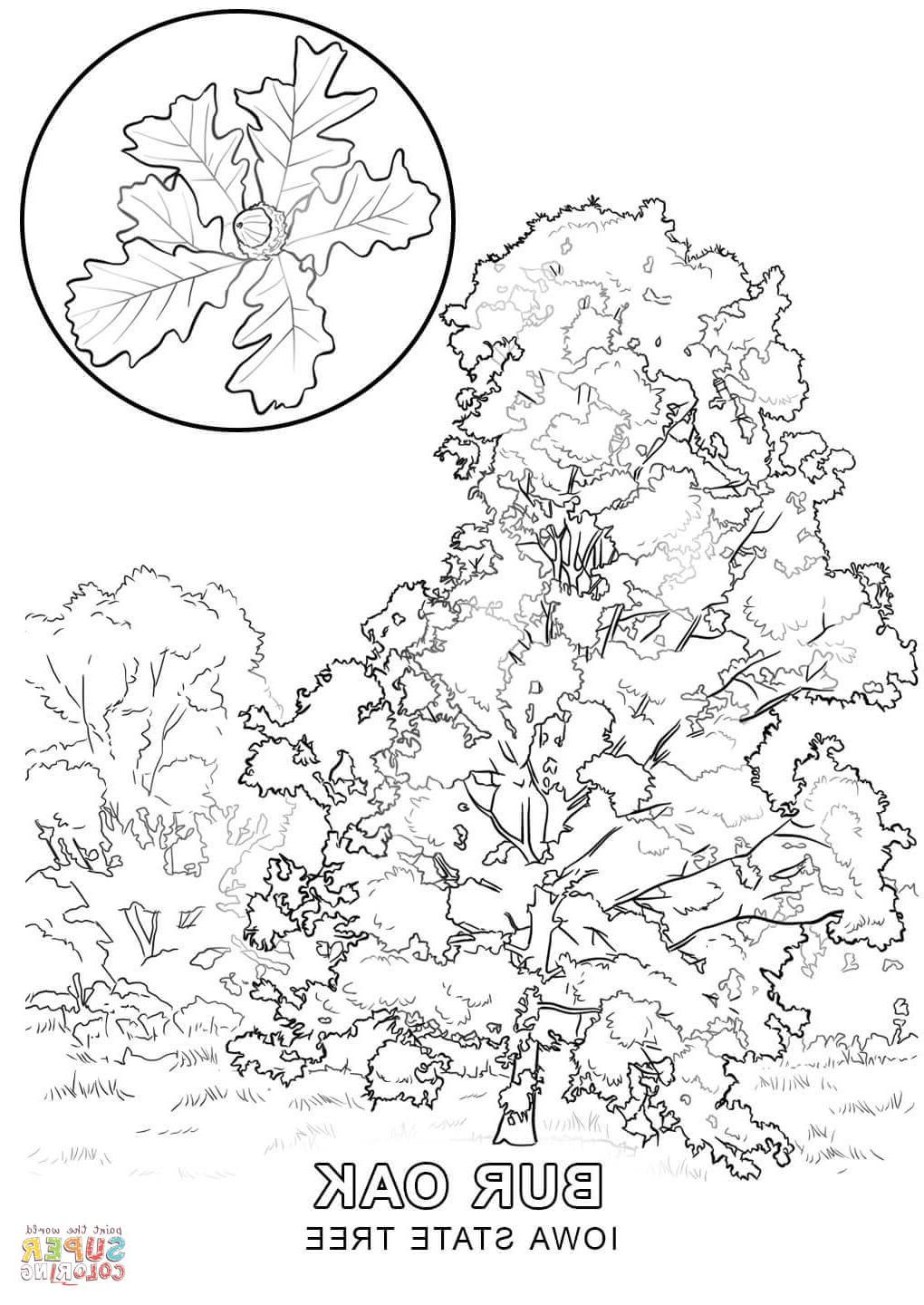 1020x1440 Best Free Iowa State Tree Coloring Page Image