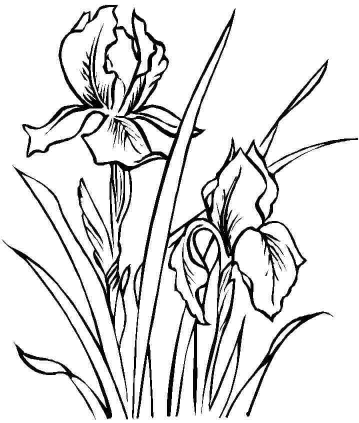 718x846 Iris Flower Coloring Page