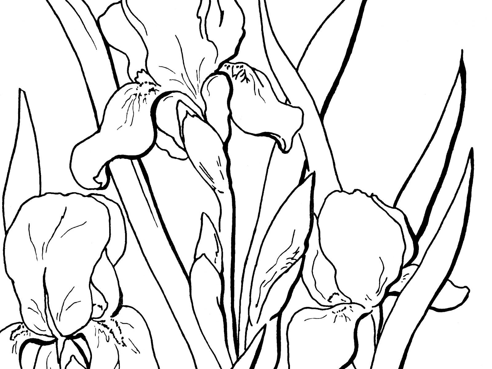 1600x1200 Marvelous Flower Page Printable Coloring Sheets Iris And Of Trends