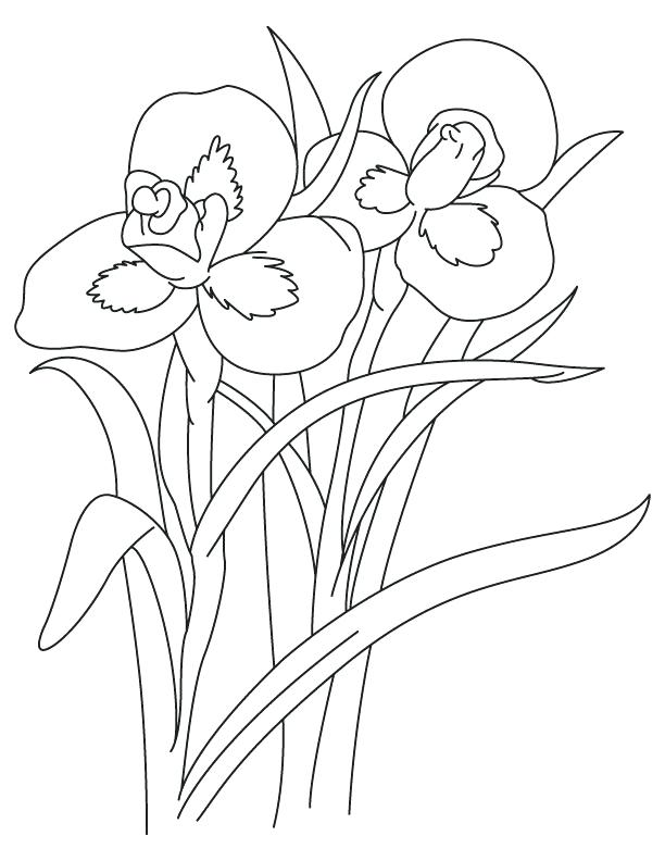612x792 Best Line Drawings Of Irises Images On Drawing Iris Flower