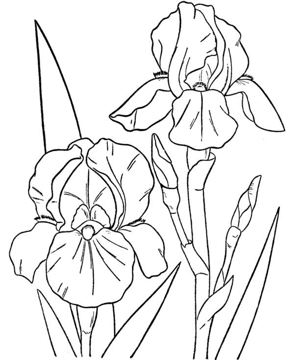 600x734 Drawn Orchid Coloring Page