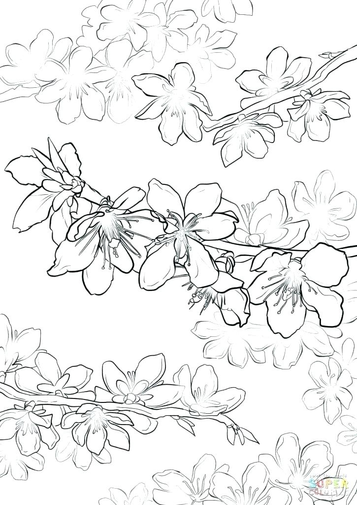 Japanese Cherry Blossom Coloring Pages At Getdrawings Com