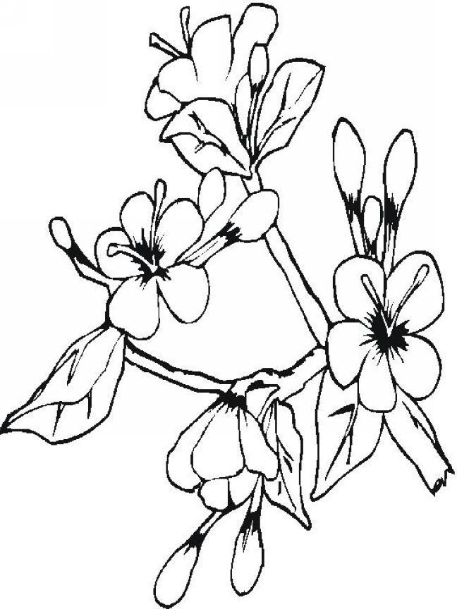 648x864 Coloring Japanese Cherry Blossom Coloring Pages With Cherry