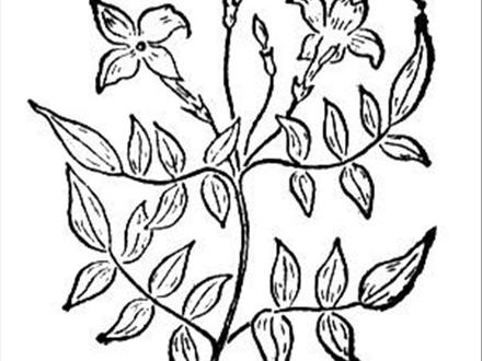 440x330 Jusmint Coloriage, Jasmine Flower Coloring Pages