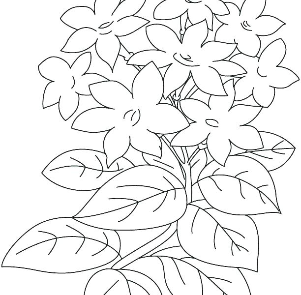 612x600 Jasmine Flower Coloring Pages Hibiscus Flower Coloring Pages