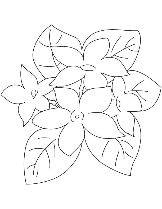 612x792 Jasmine Flower Coloring Pages Jasmine Coloring Pages Jasmine