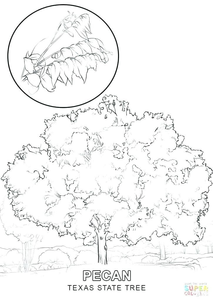 725x1024 Texas Tech Coloring Pages State Symbols Coloring Pages State Tree