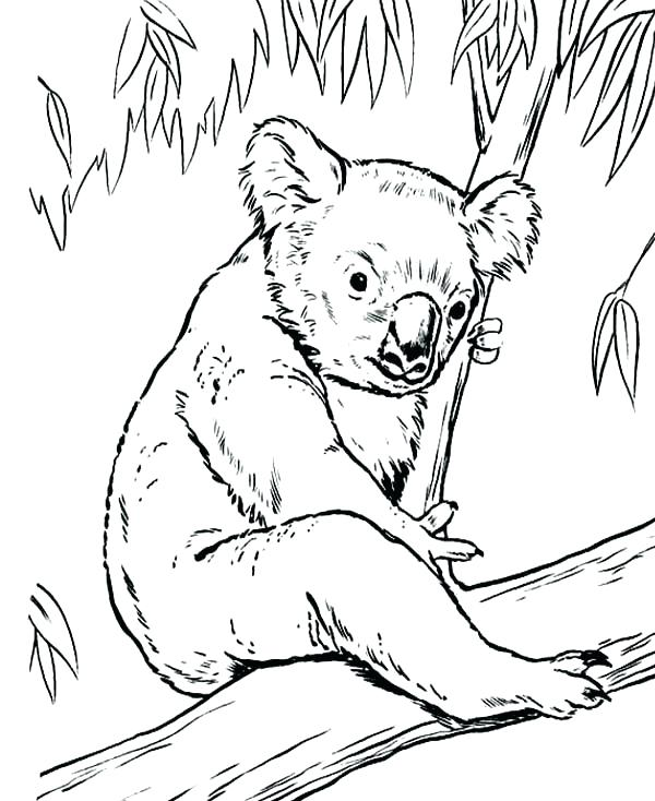 600x734 Koalas Coloring Pages Cheap Koala Ring Pages Online Baby Bear