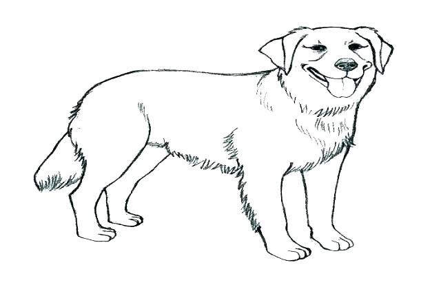 640x420 Yellow Lab Coloring Pages Chocolate Lab Drawing Yellow Lab Puppy