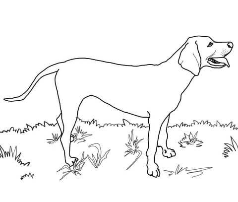 480x407 Redbone Coonhound Coloring Page