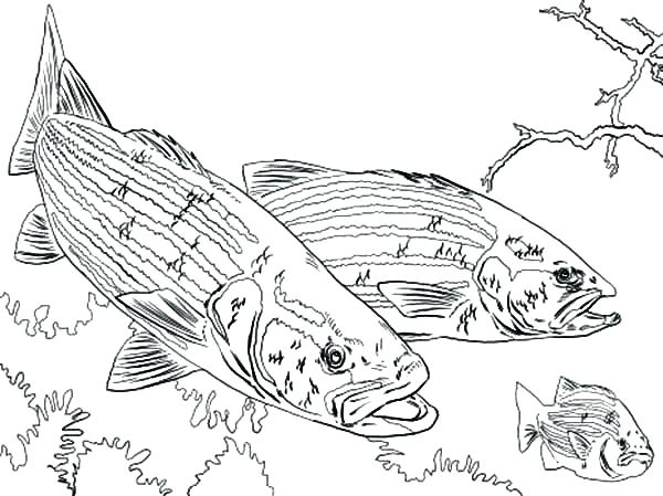 600x449 Bass Coloring Pages Bass Fish Picture Coloring Pages Bass Pro