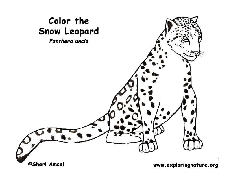 792x612 Snow Leopard Coloring Page