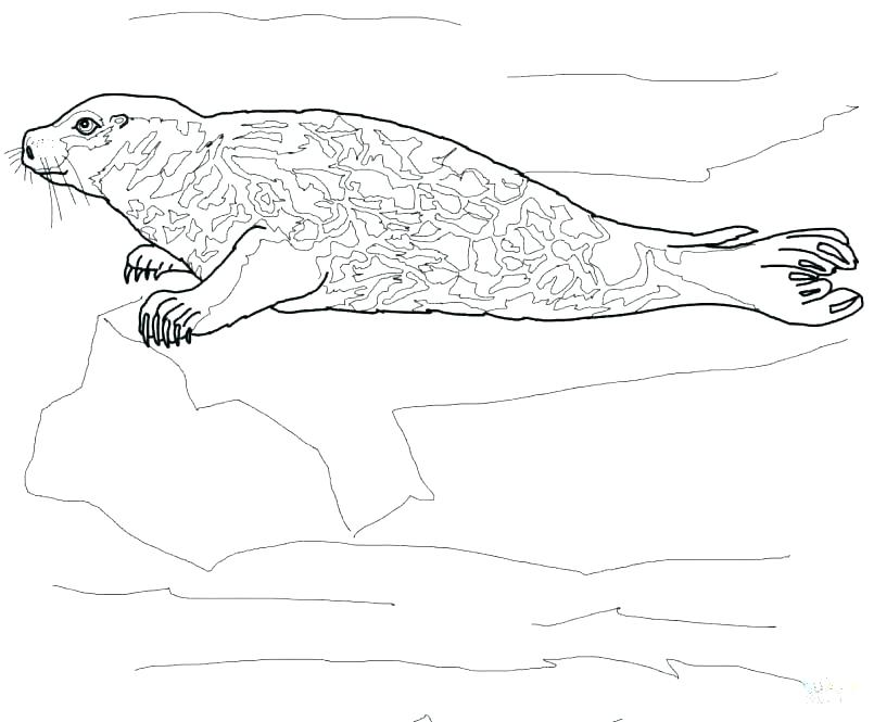 805x665 Baby Seal Coloring Pages Leopard Coloring Pages Leopard Seal