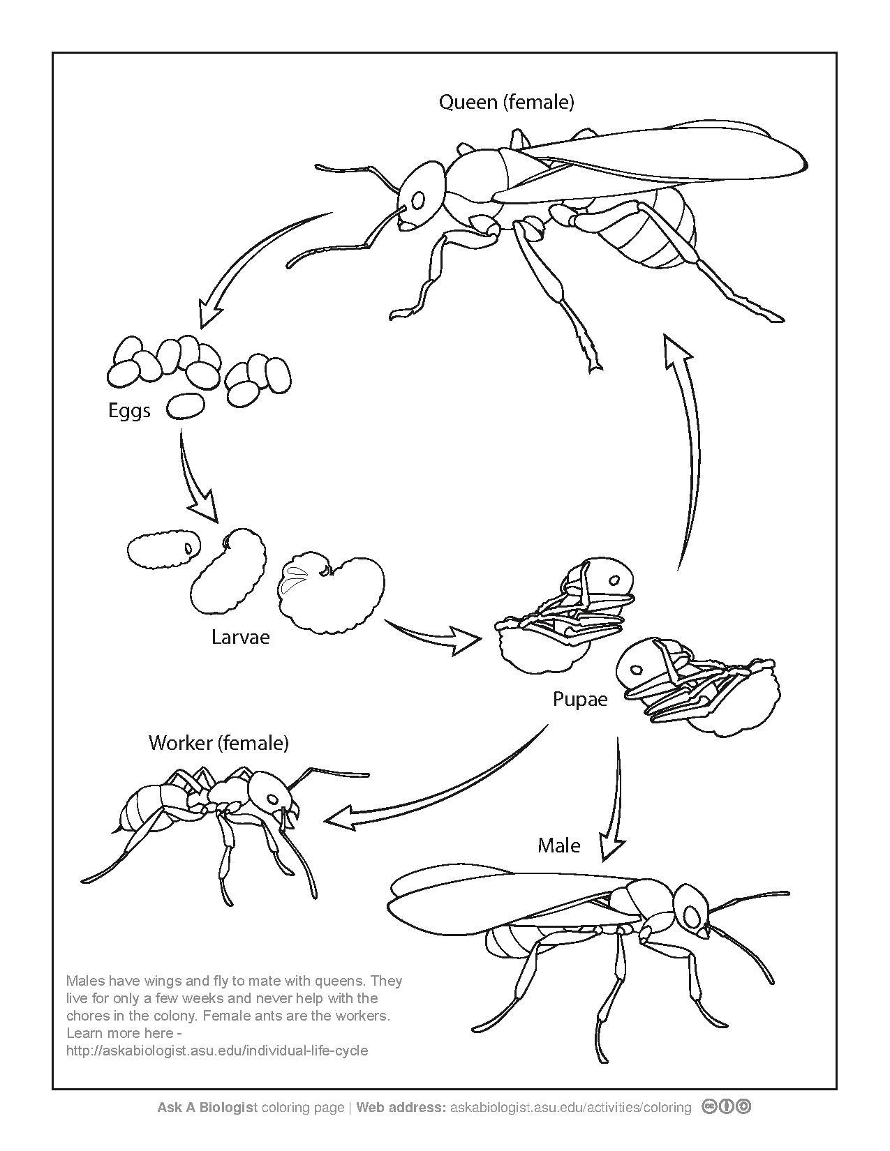 1275x1650 Ant Life Cycle Coloring Page Pdf