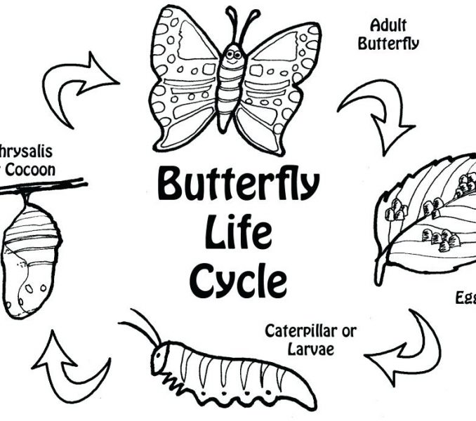 678x600 Life Cycle Of A Butterfly Coloring Page Butterfly Life Cycle