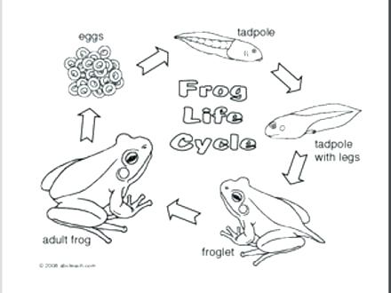 440x330 Tadpole Coloring Page Frogs And Tadpoles Coloring Pages Google