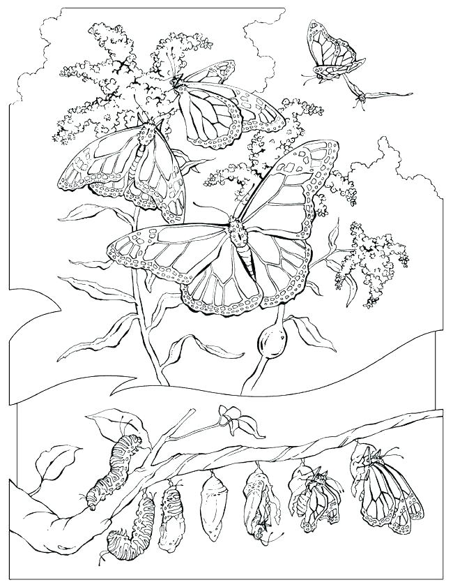 650x841 Beautiful Butterfly Coloring Pages Monarch Butterfly Life Cycle
