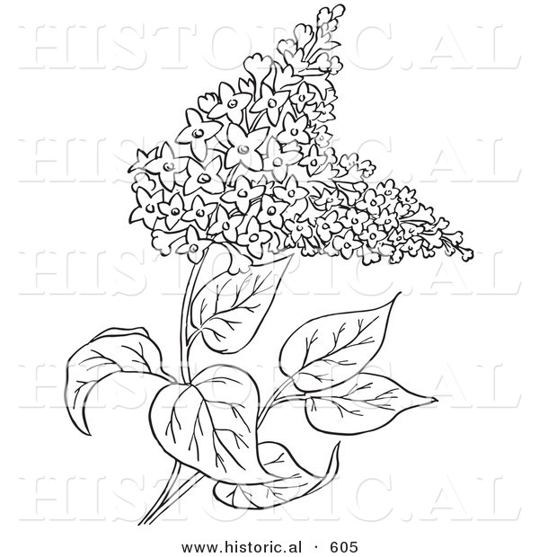 600x620 Historical Vector Illustration Of Lilac Flowers Outlined, Syringa
