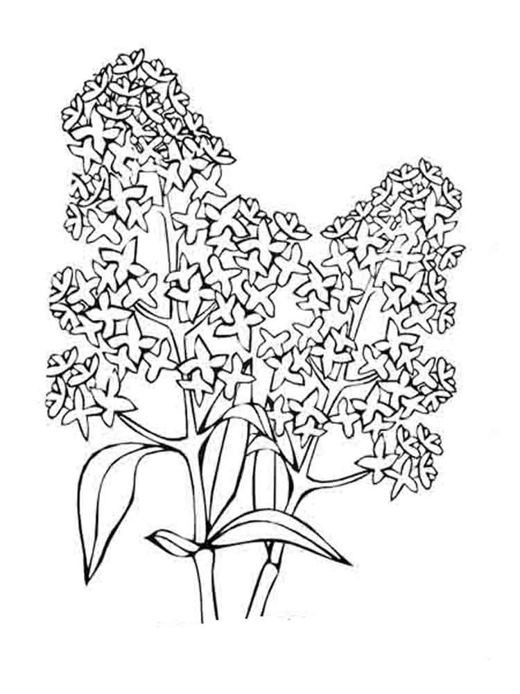 750x1000 Lilac Flower Coloring Pages Download And Print Lilac Flower