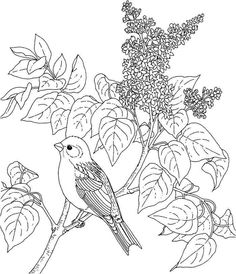 The Best Free Finch Coloring Page Images Download From 26 Free