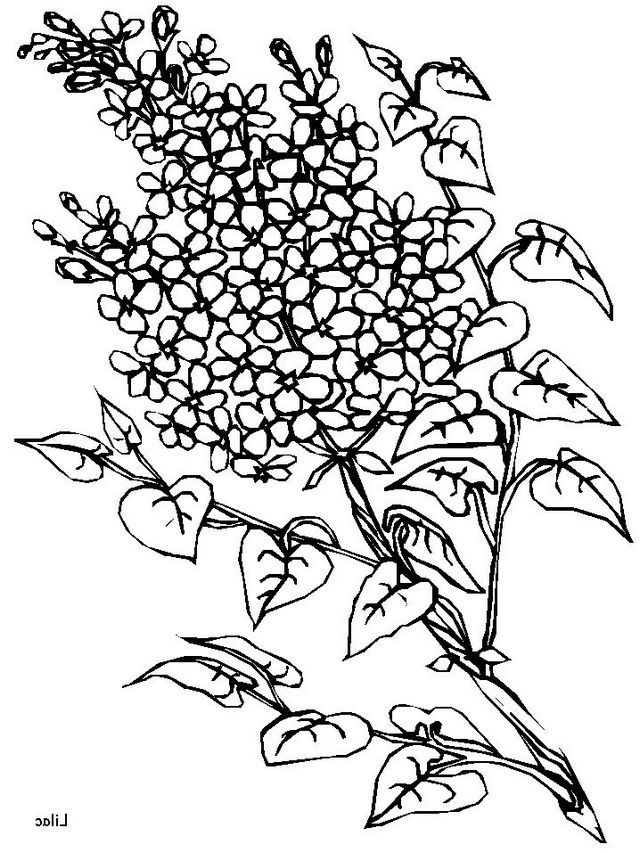 640x853 Lilac Flowers Coloring Pages Forever Coloring