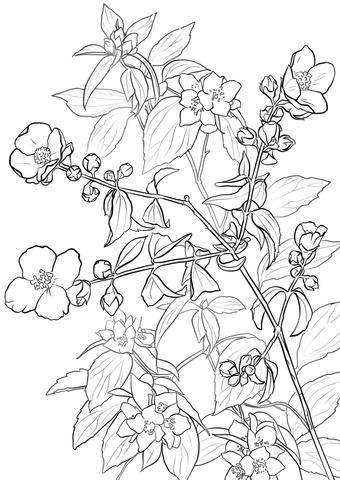 340x480 Flowering Lewis Mock Orange Or Syringa Coloring Page