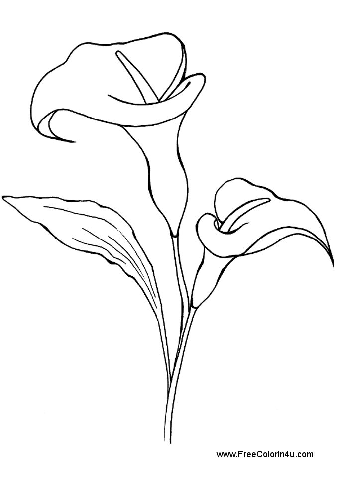 677x960 Calla Lily Coloring Pages Calla Lily Coloring Pages Flower Page