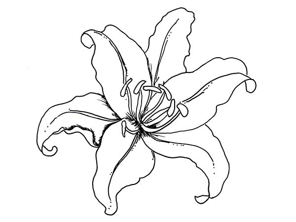 600x450 Lily Flower Coloring Page
