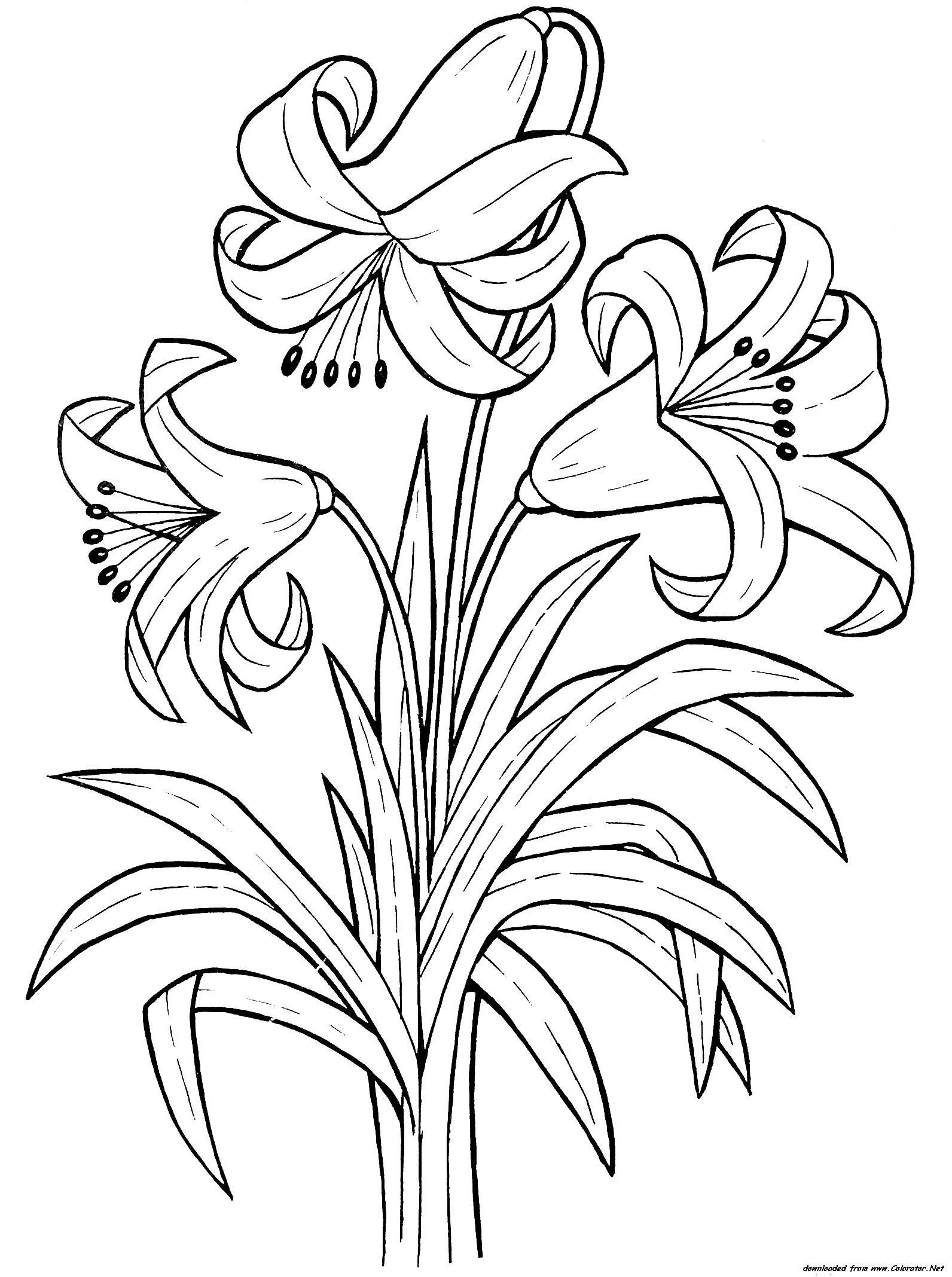 1592x2136 Best Of Lily Flower Coloring Pages