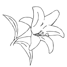 Lily Flowers Coloring Pages