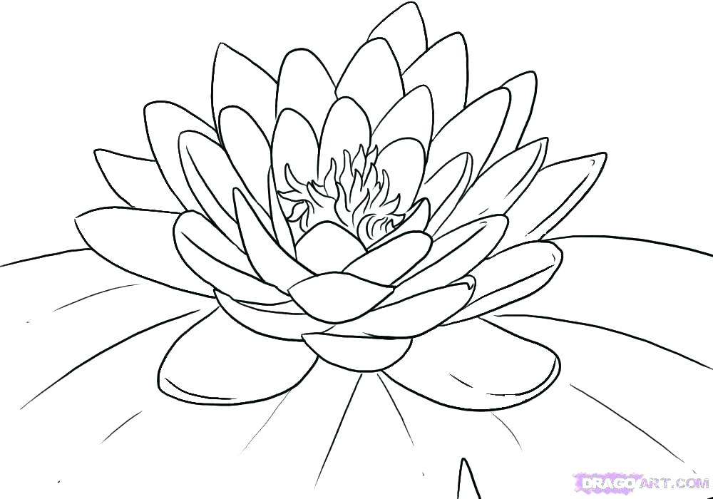 1000x700 Lily Outline Download Lily Stock Illustration Illustration Of Lily