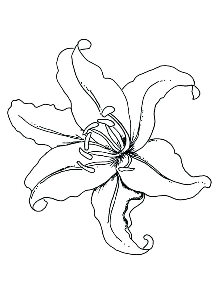 750x1000 Outline Drawing Of Flowers Lily Flower Vector Outline Stock Vector