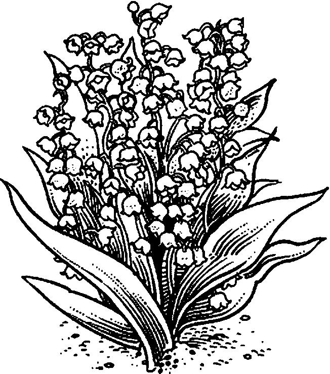 652x739 Lily Of The Valley Coloring Page